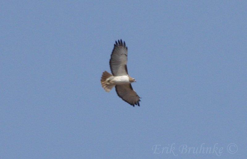 Kriders x Eastern Integrade Red-tailed Hawk