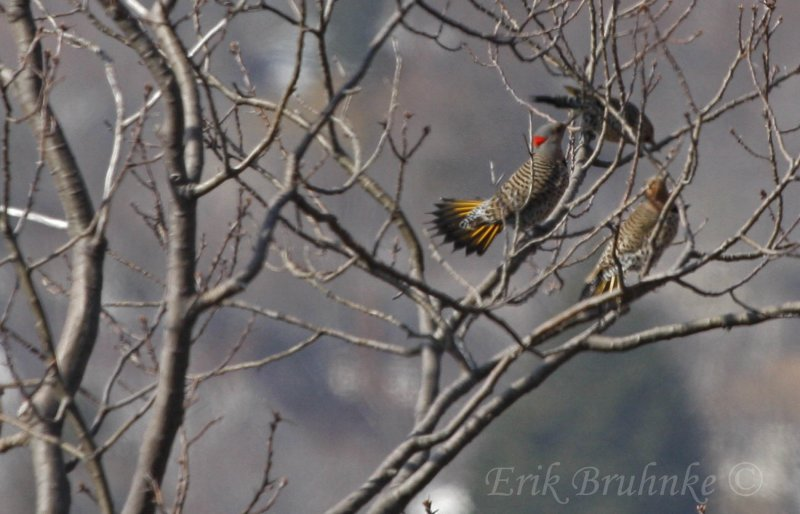 Northern Flickers calling & displaying!