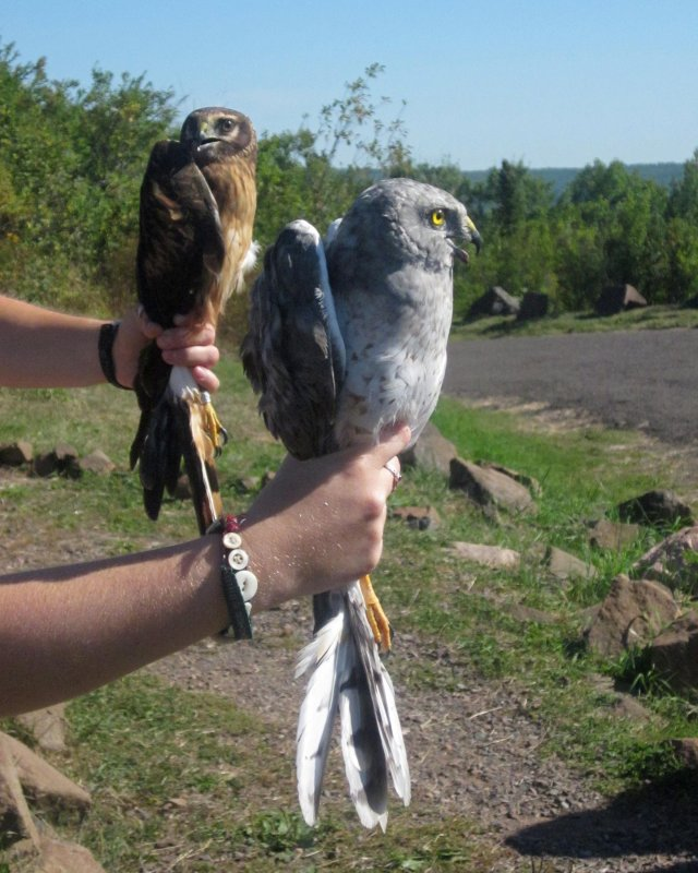 Immature Northern Harrier (left) and Adult male Northern Harrier (right)