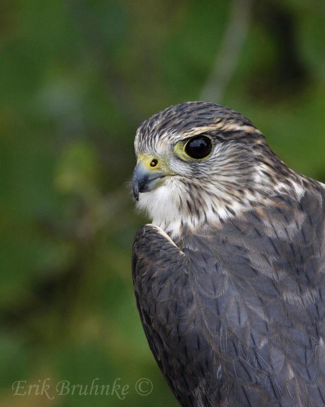 Richardsons Merlin, also known as a Prairie Merlin