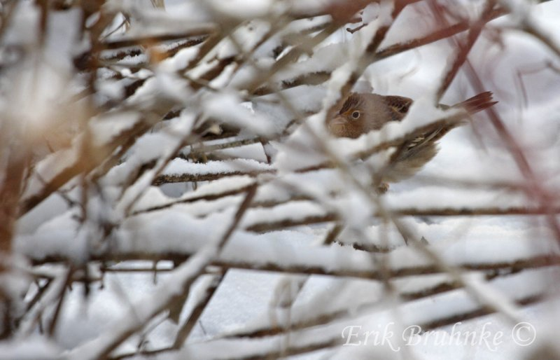 Grasshopper Sparrow, the morning of Dec 1st, 2011