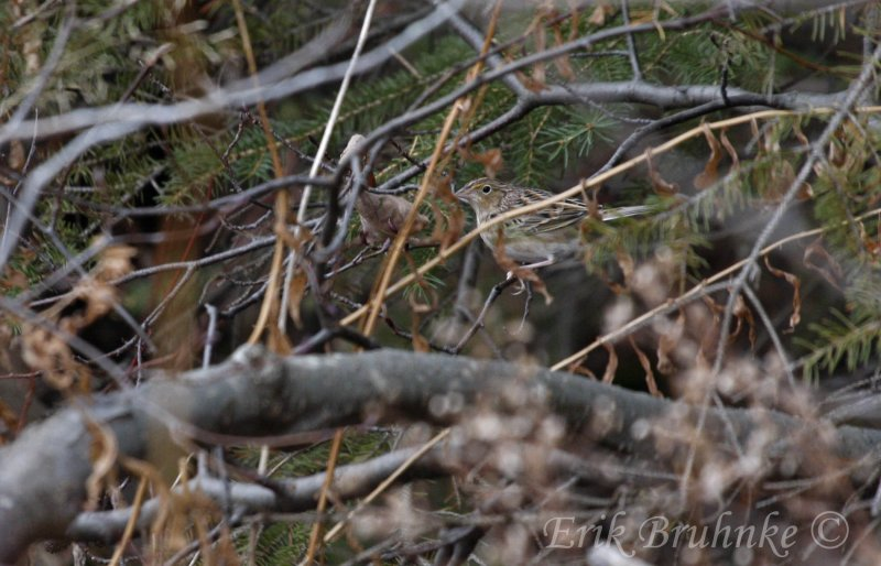 Grasshopper Sparrow, the morning of Nov 30, 2011