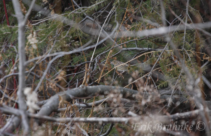Can you find the Grasshopper Sparrow?