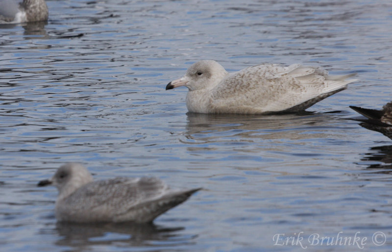 Glaucous Gull (background) and Kumliens Gull (foreground)