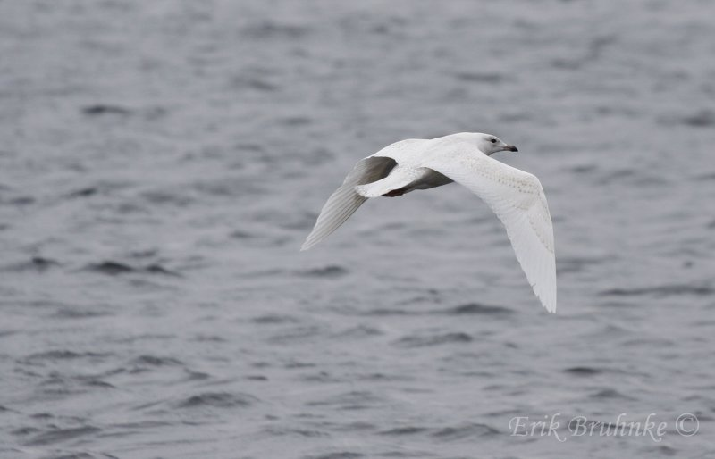 Iceland Gull (2nd-cycle)
