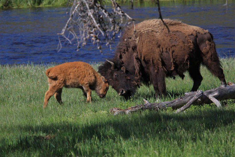 young bison playing