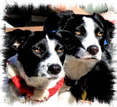 Drew Dog, born January 15, 2011.  Betty White, Aussie shepard mix born March 15, 2011