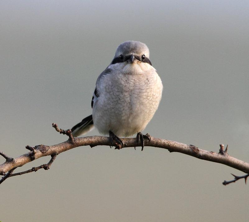 Klapekster - Great Grey Shrike