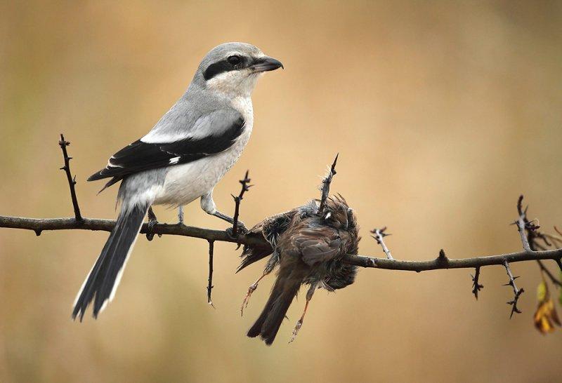 Klapekster met Heggenmus als prooi - Great Grey Shrike with Dunnock as prey