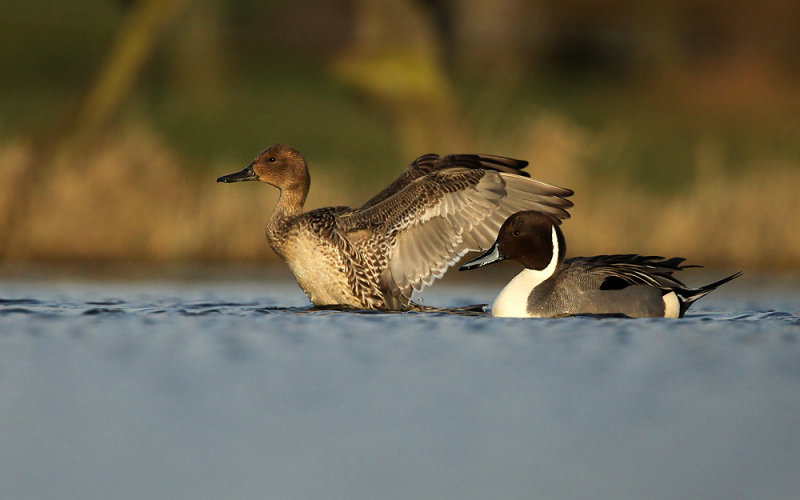Pijlstaart - Northern Pintail