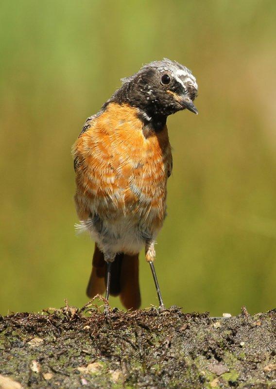 Gekraagde Roodstaart - Redstart