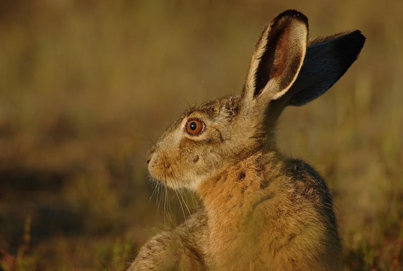 Hare - Lepus europaeus - 12/06/06
