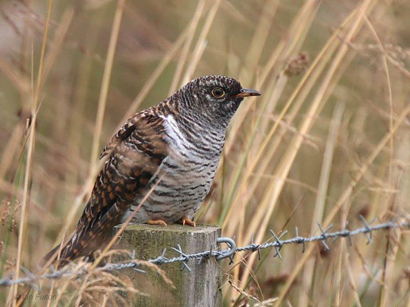 Cuckoo, Cathkin Marsh SWT, Clyde