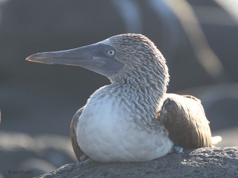 Blue-footed Booby, North Seymour, Galapagos