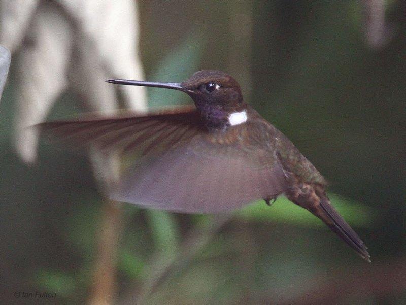 Brown Inca, Paz de las Aves, Ecuador