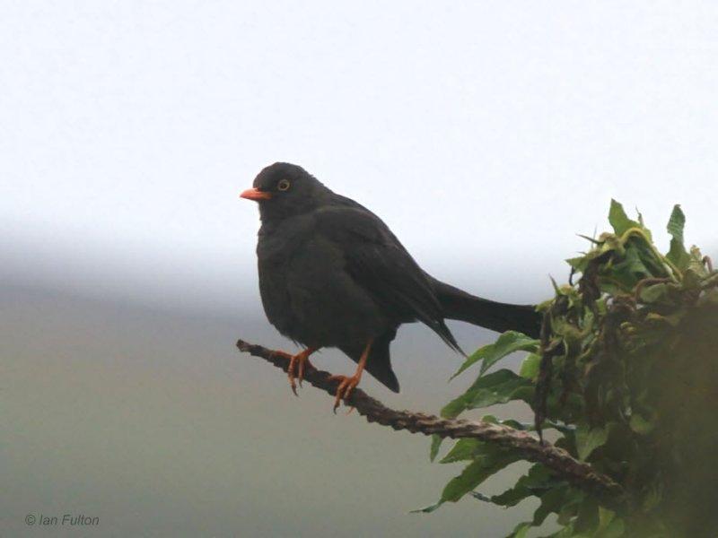 Great Thrush. Antisana Reserve, Ecuador