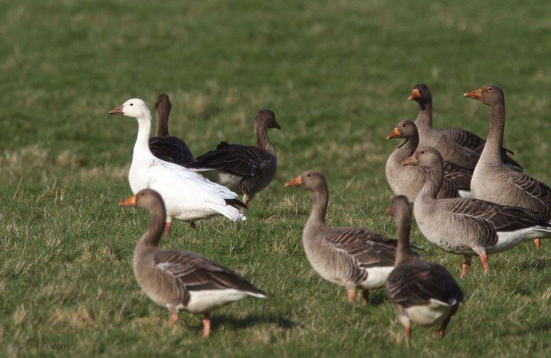 Snow Goose, Douglas Water, Clyde