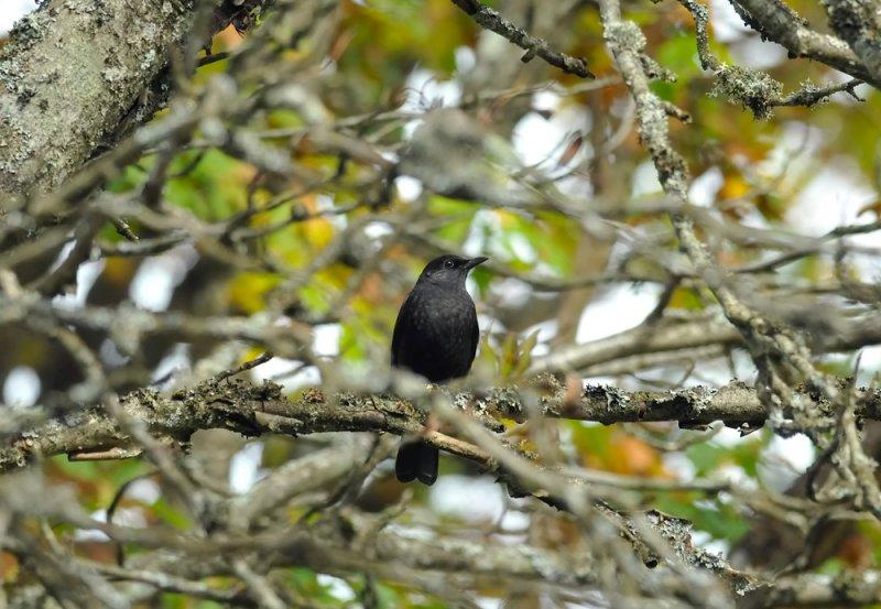 Common Blackbird  259.jpg