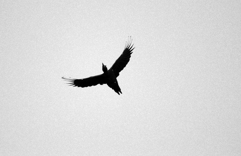 Black Woodpecker  107.jpg