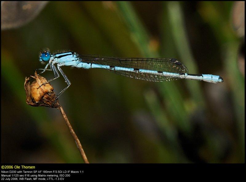 Common Blue Damselfly (Alm. Vandnymfe / Enallagma cyathigerum)