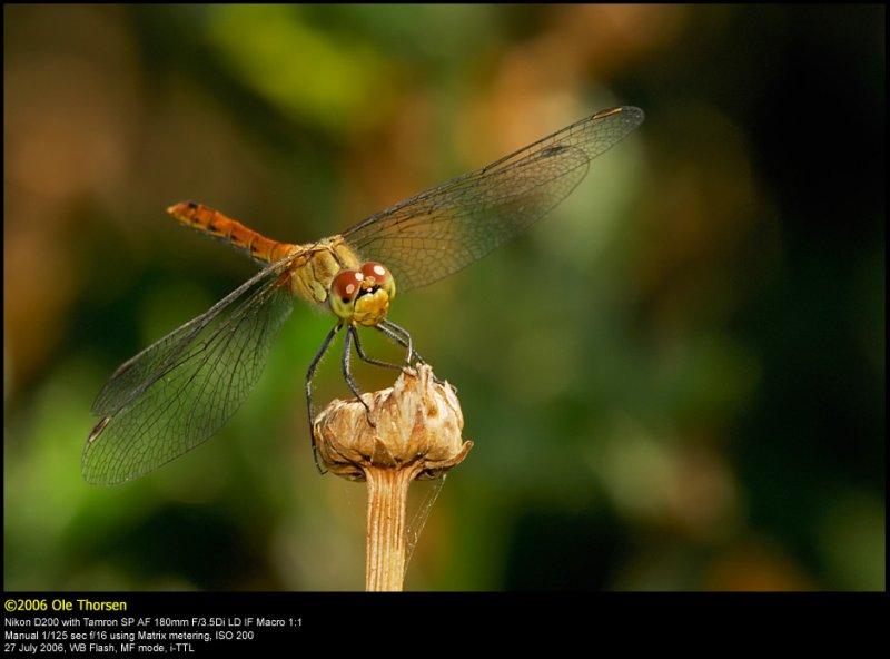 Ruddy Darter (Blodrød hedelibel / Sympetrum sanguineum)