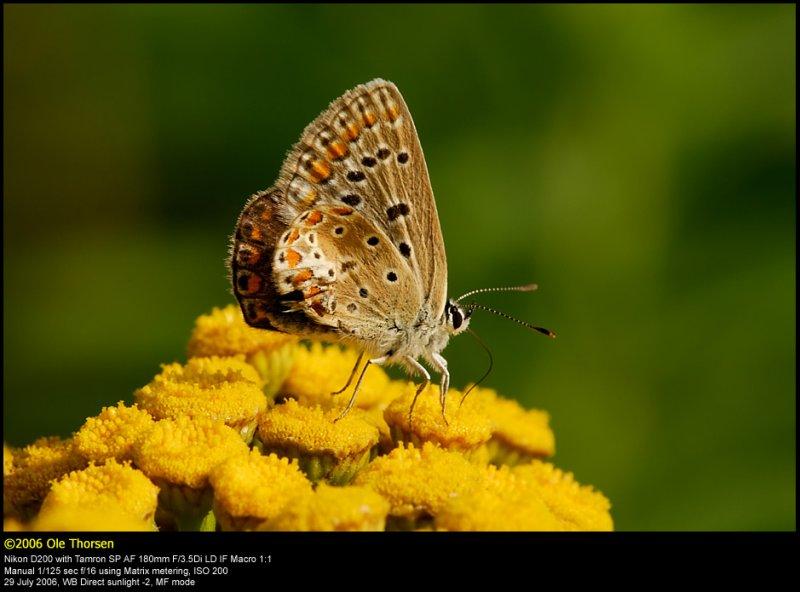 Common Blue (Almindelig Blåfugl / Polyommatus icarus)