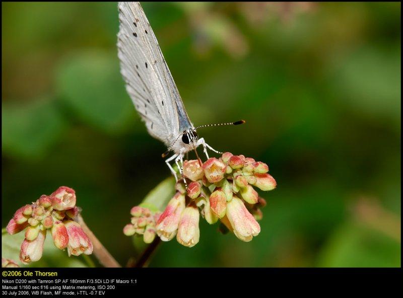 Holly Blue (Skovblåfugl / Celastrina argiolus)