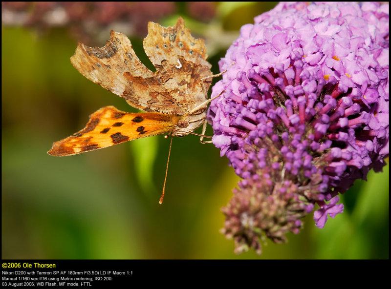 Comma butterfly (Det hvide C / Polygonia c-album)