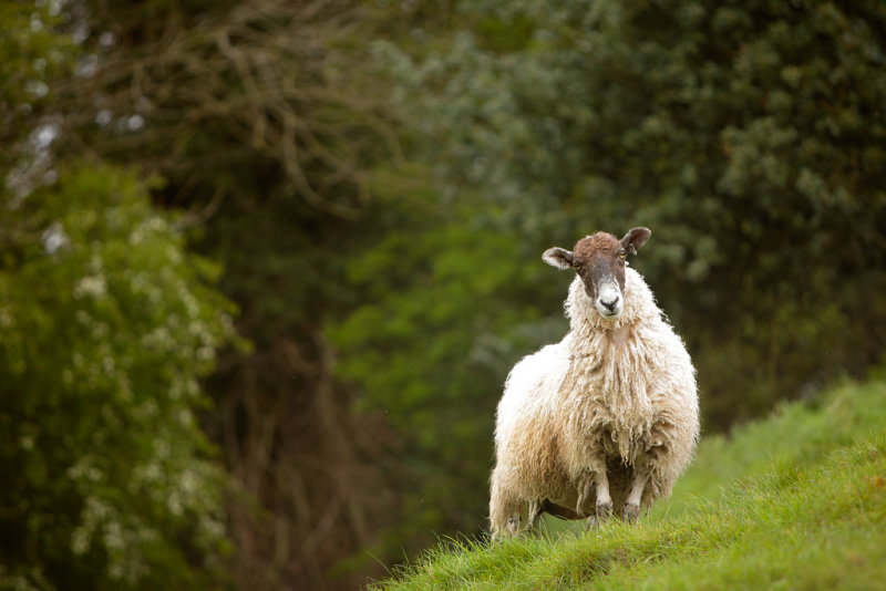 20120519 - Sheep on a Hill