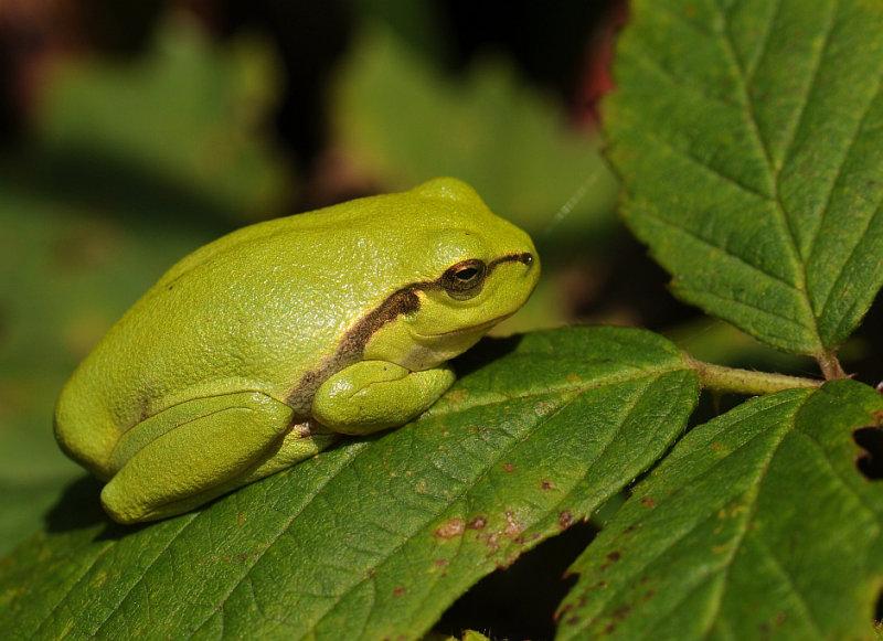 Boomkikker-European Tree Frog