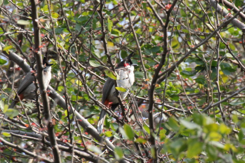 Red-whiskered Bulbuls - 73 055