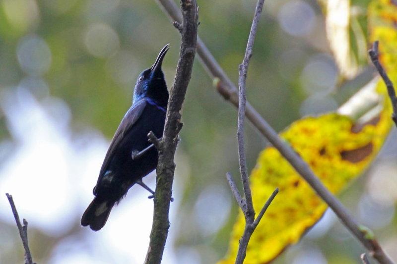 Purple Sunbird (male) - 73 022