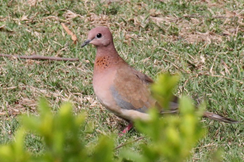Little Brown Dove - 74 047