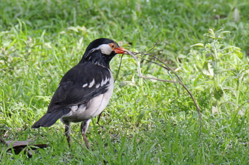 Asian Pied Starling - 74 102