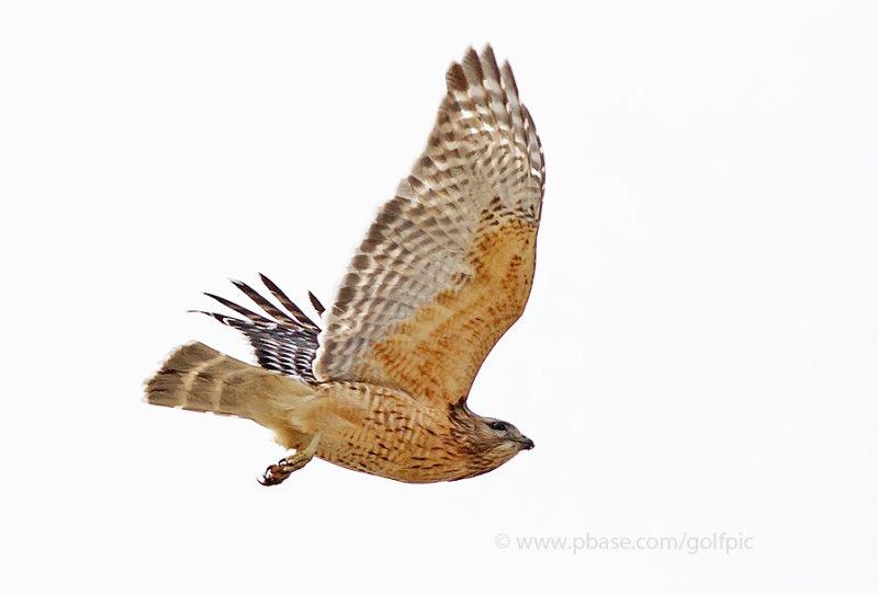 Red-shouldered Hawk (nesting pair)