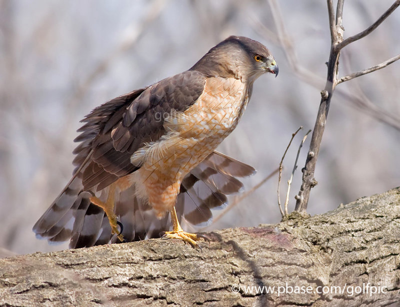 Coopers Hawk wing stretch