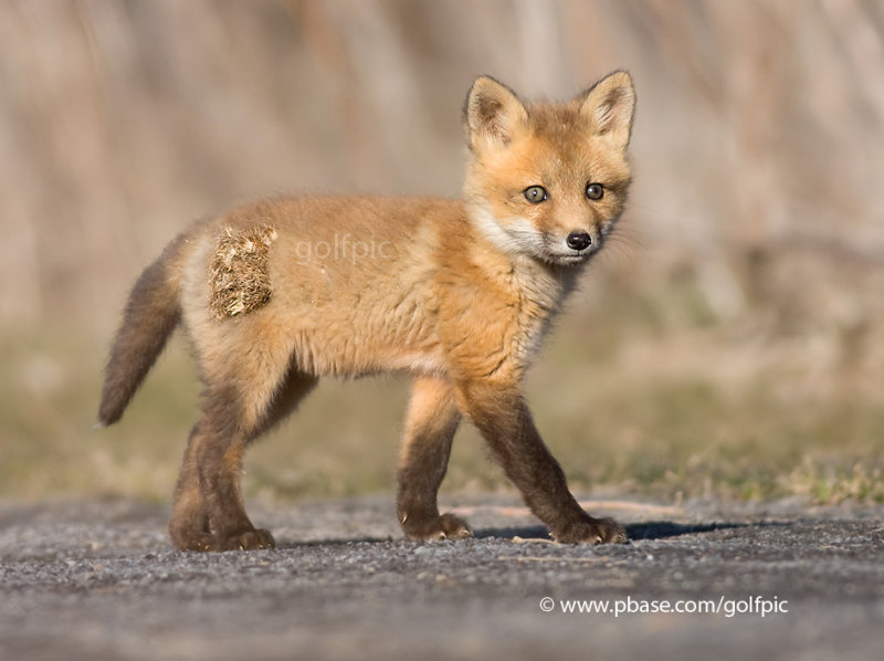 Fox kit out for stroll