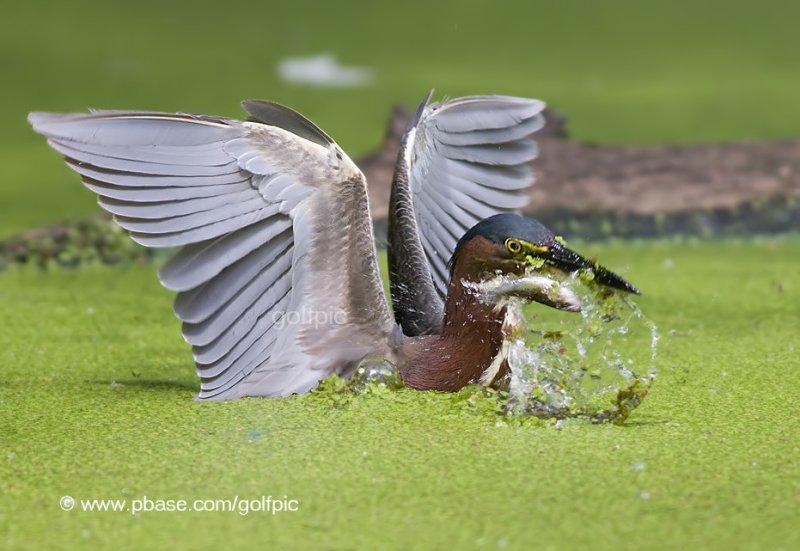 Green Heron (The one that got away!)