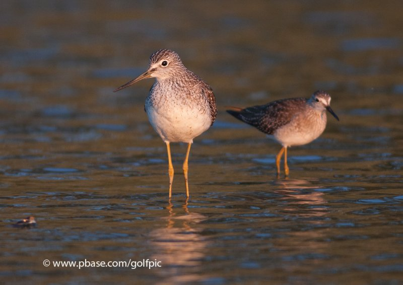 Yellowlegs, Greater and Lesser