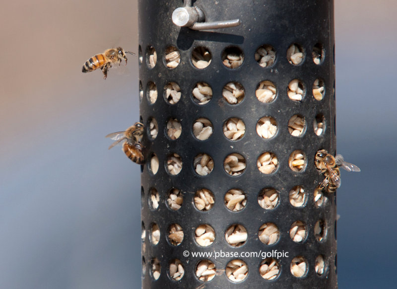 Bees crazy for peanuts?