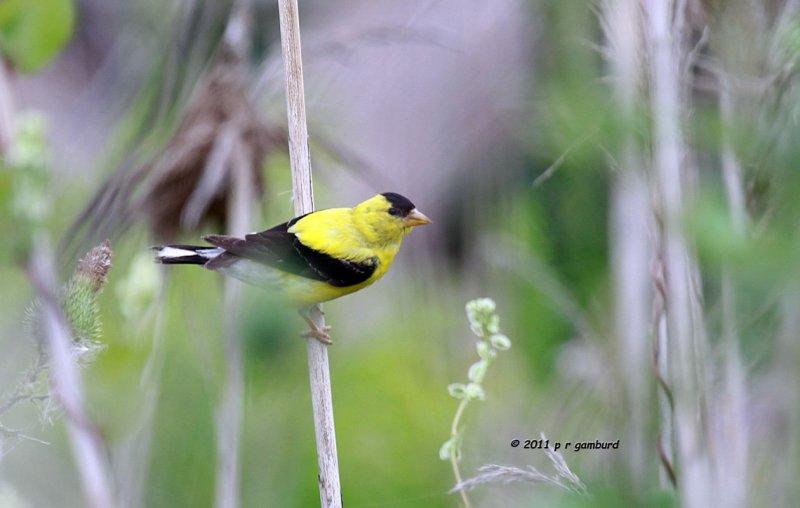 American Goldfinch IMG_3944.jpg
