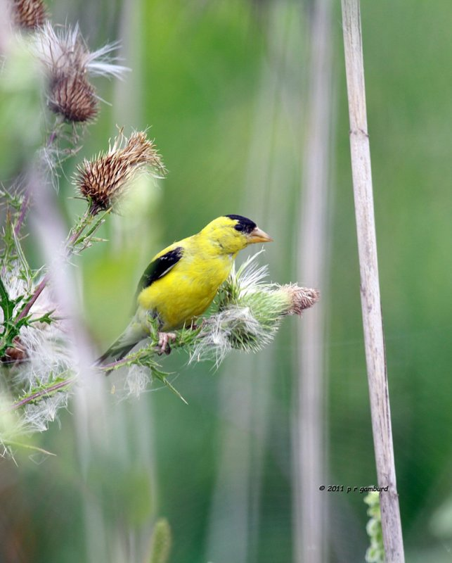American Goldfinch IMG_3955.jpg