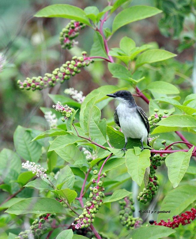 Eastern Kingbird IMG_4007.jpg