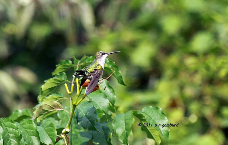 Ruby-throat Hummingbird IMG_4380.jpg