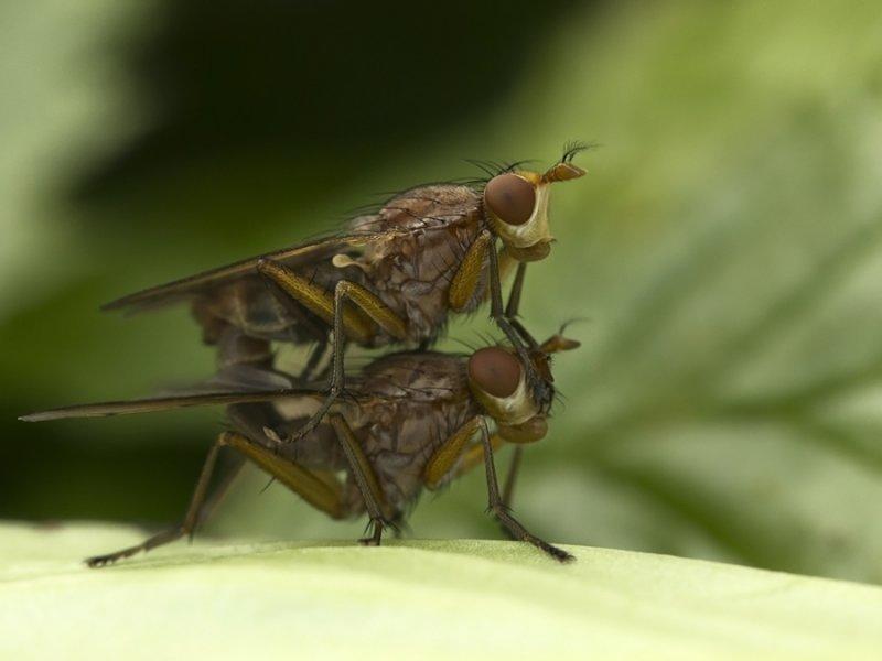 twee d(r)ekvliegen