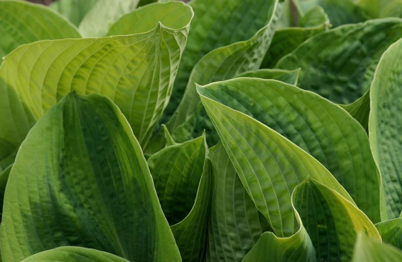 Hosta  Huddle