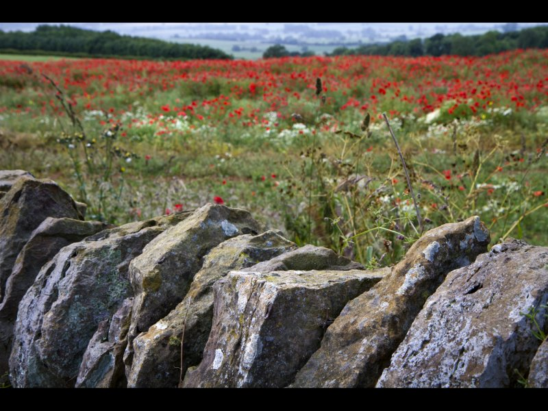Wall and Poppies