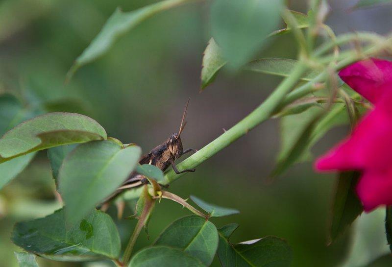 Grasshoppers on Pohnpei. IMG_6161.jpg