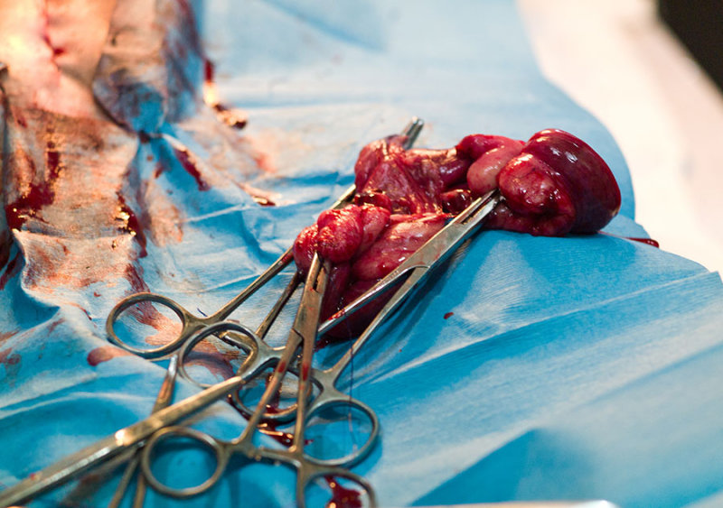 Ovaries and fallopian tubes after spaying.. L1016403.jpg