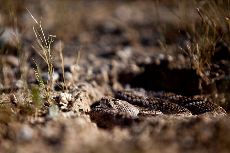 Western diamondback rattlesnake. Waiting for prey.  IMG_9712.jpg